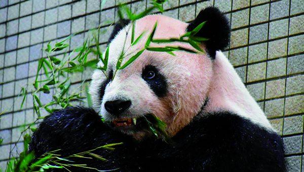 PANDA CON  IMPLANTE DENTAL